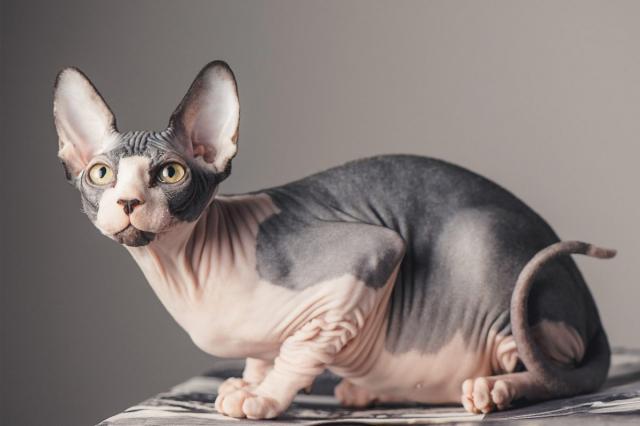 Gato esfinge: Todo lo que necesitas saber