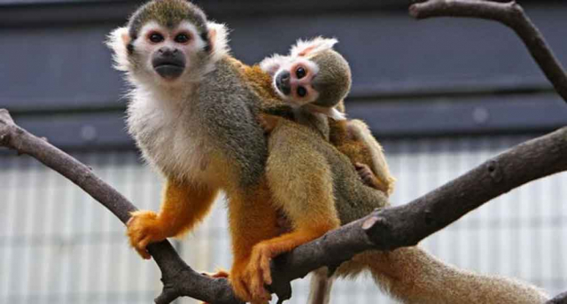 Datos curiosos sobre los monos que no conocías